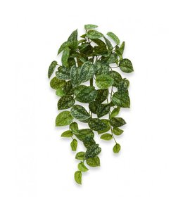 Scindapus Pictus hangplant 60 cm