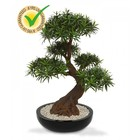 Podocarpus Bonsai x5 90 cm UV