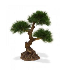 Pinus Bonsai x3 60 cm
