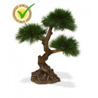 Pinus Bonsai x3 60 cm UV