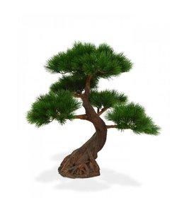 Pinus Bonsai x5 Deluxe 80 cm op voet