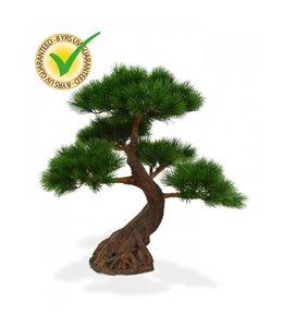 Pinus Bonsai x5 Deluxe 80 cm op voet UV
