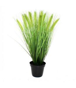 Pennisetum Pluimgras x4 50cm in pot 12cm