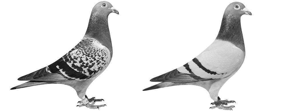 Pigeons & Poultry