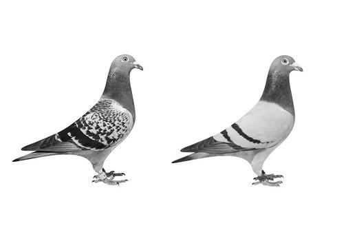 Tauben & Geflügel
