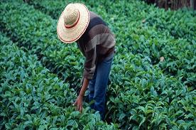 Van oogst tot de koffie in het kopje
