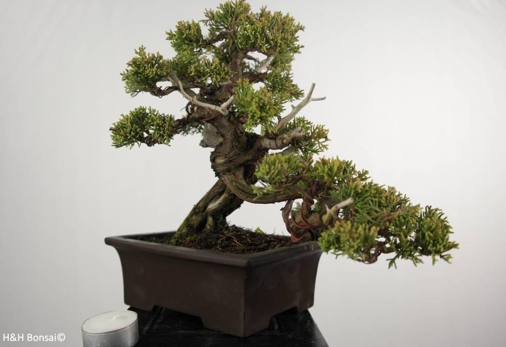 Bonsai Genévier de Chine, Juniperus chinensis itoigawa, no. 5126