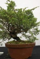 Bonsai Genévier de Chine itoigawa, Juniperus chinensis itoigawa, no. 5277