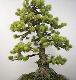 Bonsai Pin blanc du Japon, Pinus penthaphylla, no. 5299
