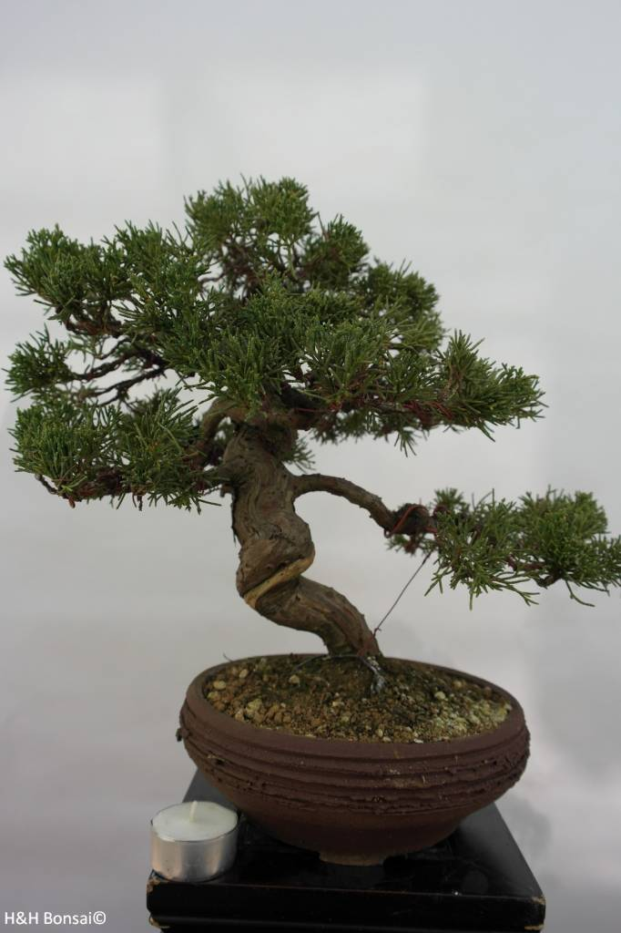 Bonsai Genévier de Chine, Juniperus chinensis, no. 5498