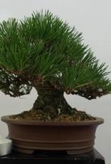 Bonsai Shohin Pin noir du Japon, Pinus thunbergii, no. 5506