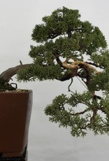 Bonsai Genévier de Chine, Juniperus chinensis, no. 5540