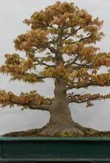 Bonsai L'Erable du Japon, Acer palmatum, no. 5499