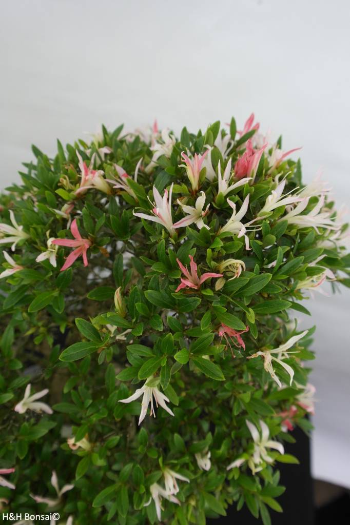 Bonsai Azalée du Japon,  Azalea Satsuki Kegon, no. 5660