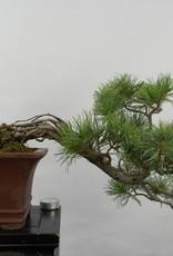 Bonsai Pin blanc du Japon, Pinus pentaphylla, no. 5759