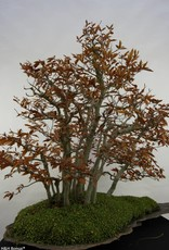 Bonsai Hêtre du Japon, Fagus crenata, no. 5785