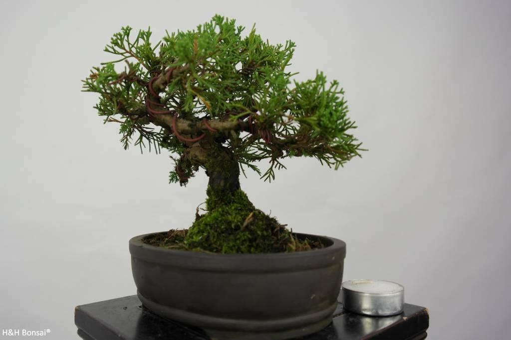 Bonsai Shohin Genévrier de Chine, Juniperus chinensis, no. 5800