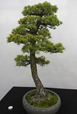 Bonsai Pin blanc du Japon, Pinus penthaphylla, no. 5182