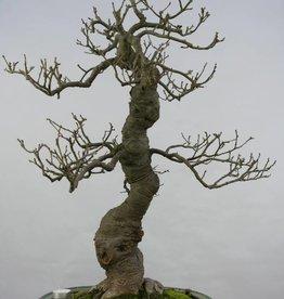 Bonsai Ilex serrata, no. 5131
