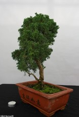 Bonsai Genévrier de Chine, Juniperus chinensis, no. 5835