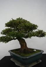 Bonsai Azalée du Japon, Azalea Satsuki Kaho, no. 5193