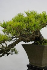 Bonsai Pin rouge du Japon, Pinus densiflora, no. 5837
