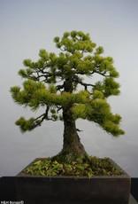 Bonsai Pin blanc du Japon, Pinus pentaphylla, no. 5845