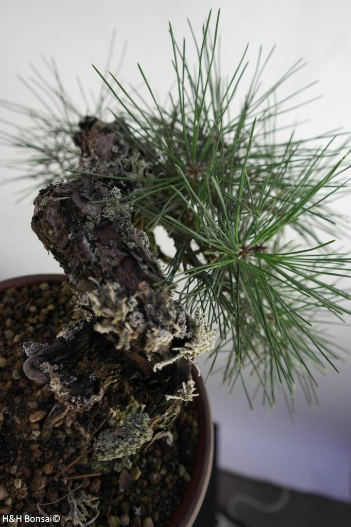 Bonsai Shohin Pin noir du Japon, Pinus thunbergii, no. 5849