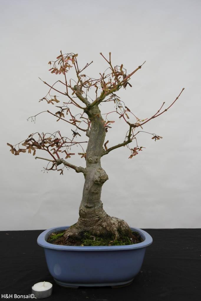 Bonsai L'Erable du Japon, Acer palmatum, no. 5851