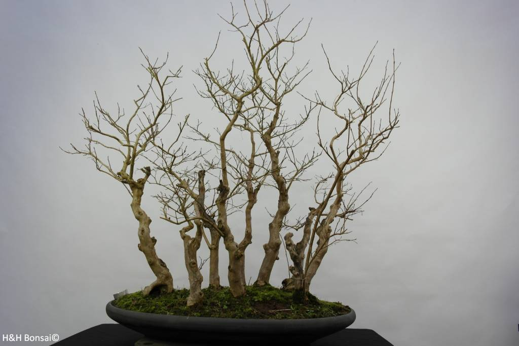 Bonsai Lagerstroemia, no. 5860