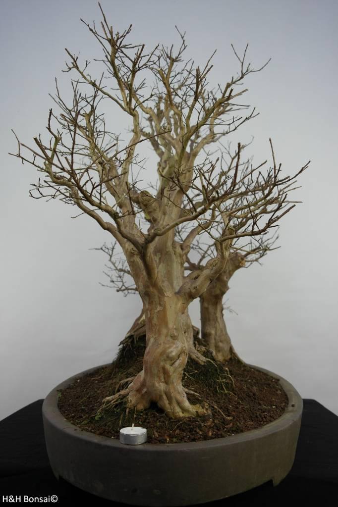 Bonsai Lagerstroemia, no. 5864
