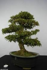Bonsai Azalée du Japon, Azalea Satsuki, no. 5865