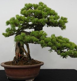 Bonsai Pin blanc du Japon, Pinus parviflora, no. 5894