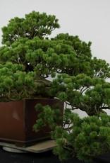 Bonsai Pin blanc du Japon zuisho, Pinus penthaphylla zuisho, no. 5896