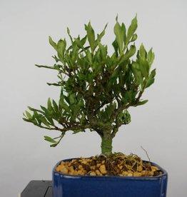 Bonsai Shohin Gardenia, nr. 5961