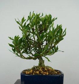 Bonsai Shohin Jasmin du Cap, Gardenia, no. 5964