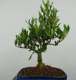 Bonsai Shohin Jasmin du Cap, Gardenia, no. 5966
