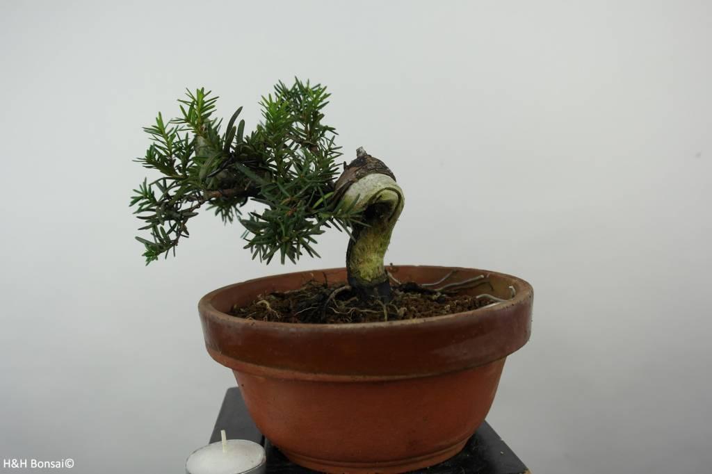 Bonsai L'If du Japon, Taxus cuspidata, no. 6016