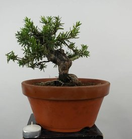 Bonsai Taxus cuspidata, Japanse venijnboom, nr. 6017