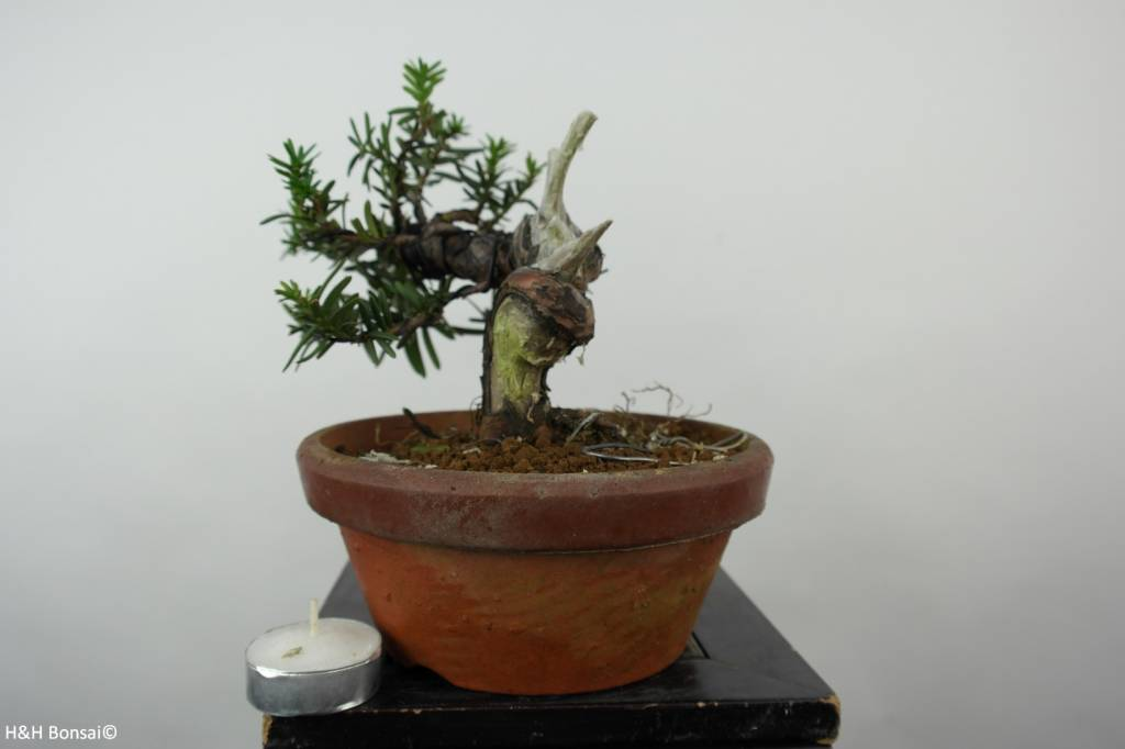 Bonsai L'If du Japon, Taxus cuspidata, no. 6018