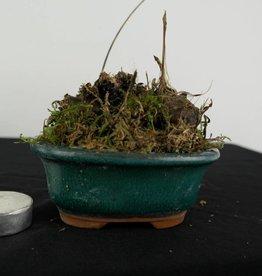 Orchidée, Pleione formosana, no. 6103