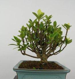 Bonsai Shohin Jasmin du Cap, Gardenia, no. 6152