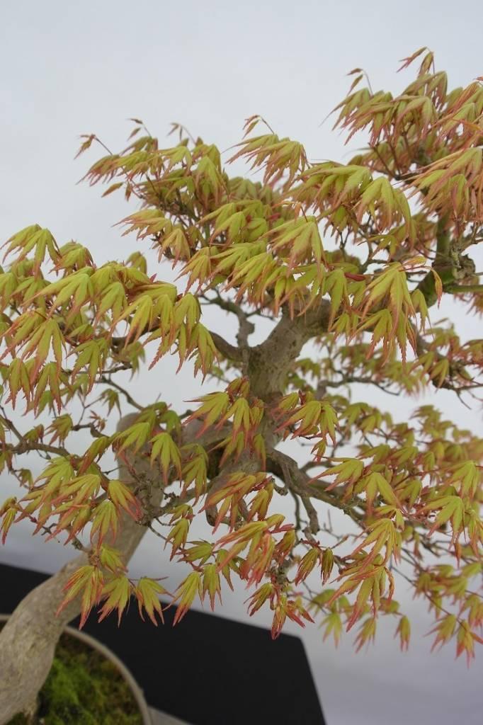 Bonsai L'Erable du Japon, Acer palmatum, no. 5806