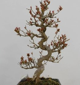 Bonsai Grenadier, Punica granatum, no. 5812