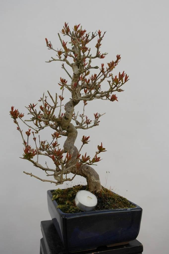 Bonsai Grenadier, Punica granatum, no. 5812