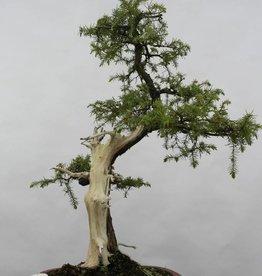 Bonsai Genévier rigida, Juniperus rigida, no. 5416