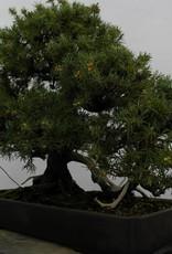Bonsai Genévier regida, Juniperus regida, no. 5144