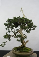 Bonsai Genévrier de Chine, Juniperus chinensis, no. 5799