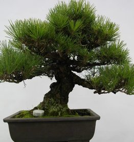 Bonsai Pin noir du Japon, Pinus thunbergii, no. 5505