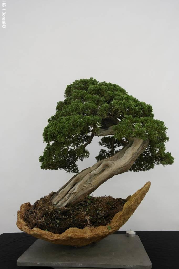 Bonsai Genévier de Chine, Juniperus chinensis itoigawa, no. 5169